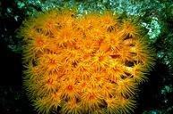 台灣珍貴珊瑚面臨污染