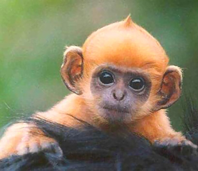 Ginger Monkey Courtesy of Wikipedia Commons