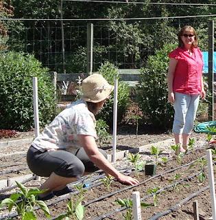pepper gardening
