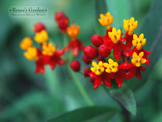 Asclepias Bright Wings flower desktop wallpaper