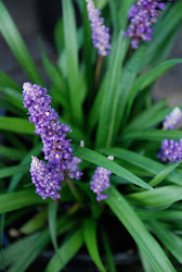 LIRIOPE MUSCARI