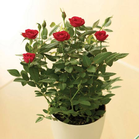 Tips of growing rose plant in tropical lowlands