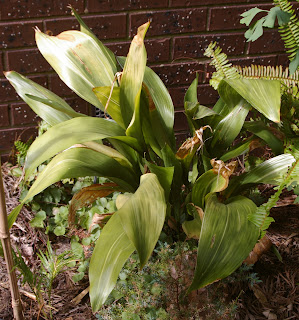 Dried out aspidistra struggling in semi-sun