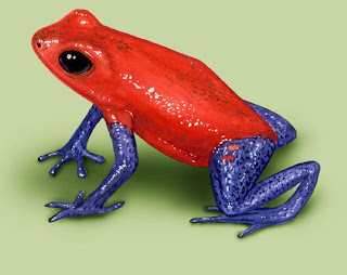 highly venemous strawberry poison dart frog
