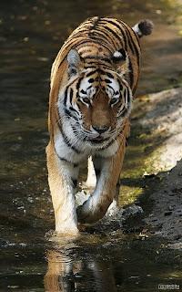 vladimir ussuri tiger