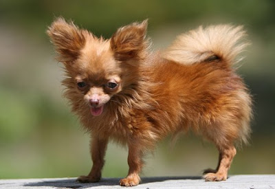 tiny dancerChihuahua smallest dog