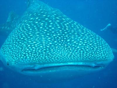 Baby Whale Shark The whale shark returned Whale Shark Size