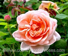 Ambrigde Rose