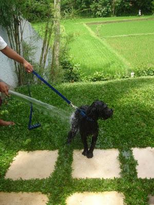 Duvel krijgt een douche. Op de achtergrond de groene rijstvelden in Ubud Bali.