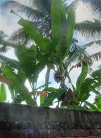 Bananenboom naast een boutique hotel in Bali (Ubud)