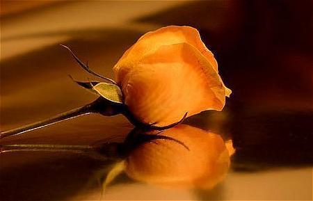 Rosas Amarillas Imágenes De Archivo, Vectores, Rosas