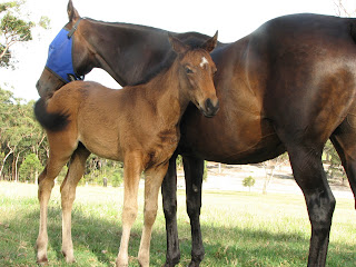 They are very handsome together, the mare and her foal. The mask is to keep the bloody flies off her face. The horses are taken to Scone to be serviced. What a quaint term!