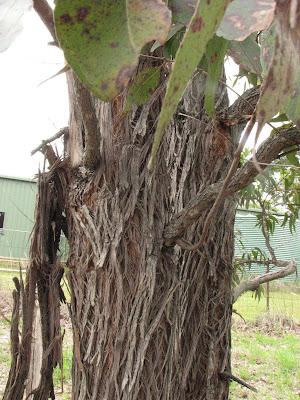 Apple Gum, Freemans Waterhole, New South Wales
