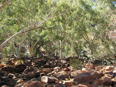 River Gums, Kings Canyon, Northern Territory