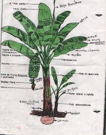 MORFOLOGIA DE LA PLANTA