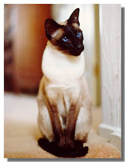 Photo of Whiskers, a Seal Point Siamese