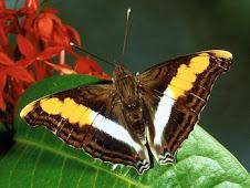 Aşkısı'nın Kelebeği