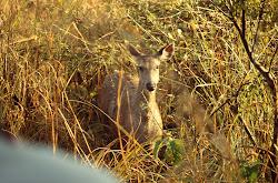 Jim Corbett National Park-Fauna