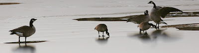 Canada Geese on a Frozen Pond