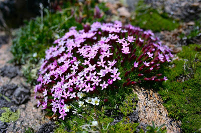 Moss Champion (Silene acaulis subacaulescens) is what puts the flora in Mt. Flora.