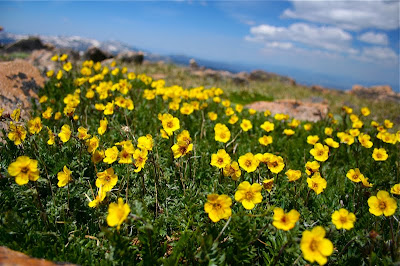 Alpine Avens (Acomastylis rossii turbinata) on the summit of Mt. Flora in Colorado