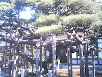 妙仙寺内の臥龍松