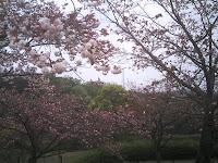 デジタルタワーと八重桜