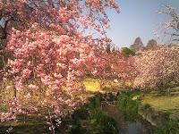 森林公園の小川に咲くシダレザクラ