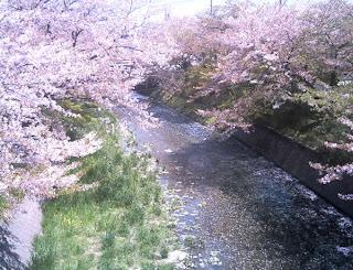 五条川と桜