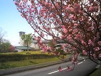 陶磁資料館と八重桜