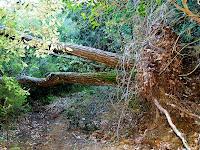 Arbre caigut al Bosc de Can Bordoi