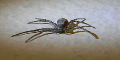 Michigan Spiders - Running Crab Spider-3