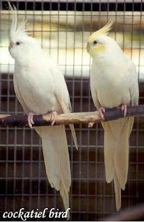albino cockatiel pair picture