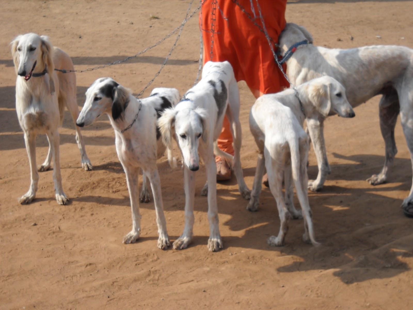 характер породы собаки раджапалайям