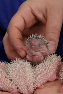 [Image: hedgehog-babies11.jpg]