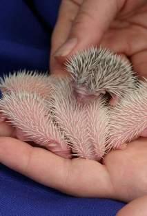 [Image: hedgehog-babies10.jpg]