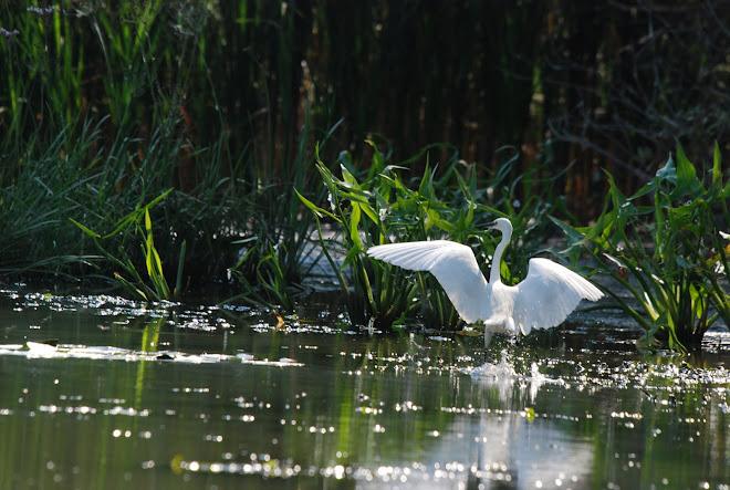 Casmerodius Albus-Egretta Alba