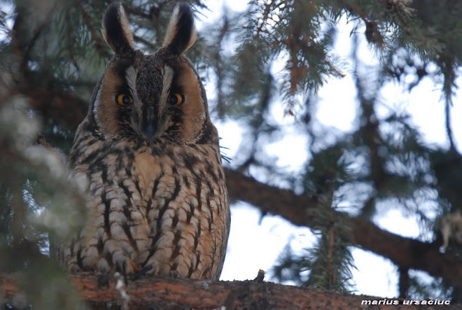 asio otus (ciuf de padure, erdei fulesbagoly, waldohreule, hibou moyen-duc, long eared owl)