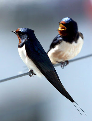 Gli uccellini e il nido Rondini380