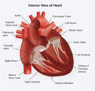 Heart interior view