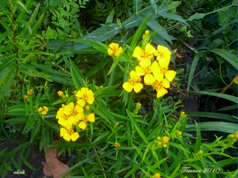 Yellow flowered herbs image collections flower decoration ideas yesterday today and tomorrow in my garden herbs mexican tarragon yesterday today and tomorrow in my mightylinksfo