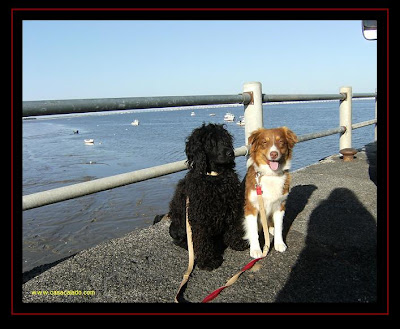 australian shepherd and portuguese water dog in alcochete