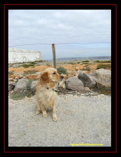 Golden Retriever in Sagres, Algarve