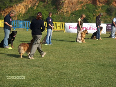 australian shepherd in obedience competition