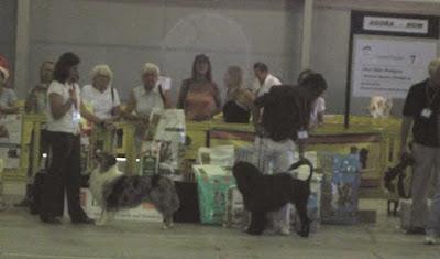 pastor australiano e cão de água português no scruffts
