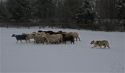 Herding with cães