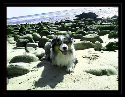 Australian Shepherd in Salema beach