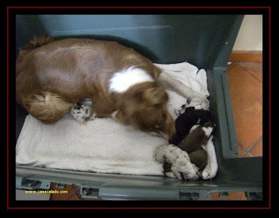 Australian Shepherd Litter