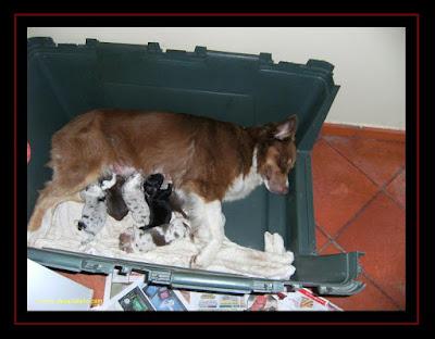 cachorros Pastor Australiano