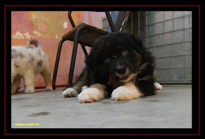 australian shepherd puppies with 6 weeks